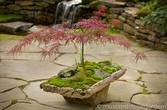 The pairing of moss and maples melds together like moss on moist.  This antique Japanese teak rice mortar, inspired David Spain to go with the placement of a Japanese maple, nestled deep in the mortar base.