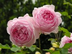 Willowbrook Park: ... a rose by any other name would smell as sweet... Rosa wife of bath