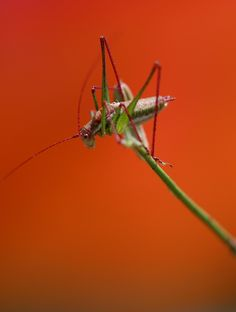Picture of a grasshopper ready to fly.