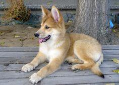 Carolina Dog Breed   Carolina Dog – Information, Health, Pictures & Training