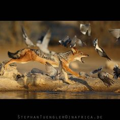 Catch me if you can. Very famous spot in the Kalahari....one of my favorite waterholes there QC Photographed on an #InAfrica_InIndia Photo Safari to the Kalahari desert. Checkout my new Website www.tuengler.com  by stephantuengler