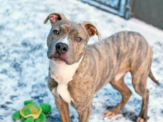 TO BE DESTROYED  2/4/14 Manhattan Ctr  ZACK  A0990440 MALE, BR BRINDLE /WHT PIT MIX   STRAY~PUPPY ALERT!!! 1yr Energetic & engaging guy who loves to charm both people & dogs alike. Being a youngster, he's a bit scattered on leash at times, but when he walks properly, he strides like a champ. Likely house trained and sits very nicely for treats. So if you're looking for a new friend with lots of love to share, a youngster who might be a bit shy initially but warms up quickly, look no further!