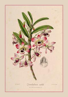 Olho-de-boneca – Dendrobium nobile  A mais popular de todas as orquídeas é também a que apresenta maior rusticidade e facilidade de cultivo, não dispensando no entanto os cuidados básicos que toda orquídea necessita.  http://sergiozeiger.tumblr.com/…/olho-de-boneca-dendrobium-…