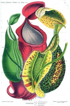 Nepenthes, aka Pitcher Plant, aka death trap for little buggers
