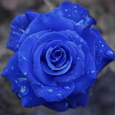 Blue Rose...mystery, attaining the impossible, love at first sight