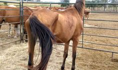 Source: SD Dewey County Sheriff's Office Neglected Former Wild Horses Face Auction Block UPDATE SALE DATE 12-20-16 The sale had been set with Phillip Livestock in Phillip SD on Dec. 20th, 201…