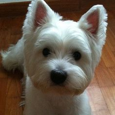 I love Westies! Westies, Westie Puppies, Cute Puppies, Dogs And Puppies, Doggies, Bichons, Chihuahua Dogs, Beautiful Dogs, Animals Beautiful