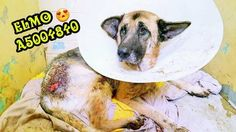The Thulani Program, a German Shepherd rescue program, posted a photo of Elmo that made clear he'd be a project.