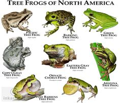 Tree Frogs Of North America Art Print by Wildlife Art By Roger Hall - X-Small Gray Tree Frog, Red Eyed Tree Frog, Tree Frog Terrarium, Types Of Frogs, Tree Frog Tattoos, Frog Habitat, Frog Illustration, Frog Art, Animal Facts
