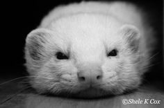 Another of our rescue ferrets, Dale.