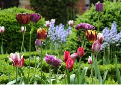 tulips ; belgium ; ronald van der hilst ; gardenista - Use green as a backdrop. Mown lawns and closely clipped green shrubs have the same effect as a velvet lining in a jewelry box. Everything else you plant will pop out like a diamond displayed on rich fabric.