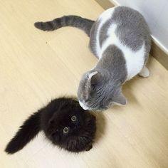 http://www.boredpanda.com/big-cute-eyes-cat-black-scottish-fold-gimo-1room1cat/