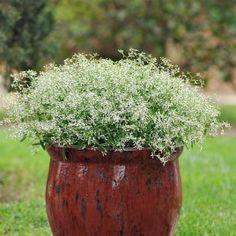 """<p>L'euphorbe est un genre important en botanique, on y trouve des <a href=""""../annuelles-190/"""">variétés</a> à feuilles succulentes, des variétés à feuilles panachées et récemment des variétés à fleurs (chamaesyce hypericifolia). Cette nouvelle variété annuelle à fleurs blanches et arrivée de Colombie. Une véritable giboulée florale s'échappe des feuilles ovales, oblongues. Les petites feuilles font 2 à 3 cm de long, elles sont vert pâle...."""