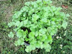 Detoxification of heavy metals with coriander sauce! Greek Flowers, Heavy Metal Detox, Simple Minds, Body Detox, Tree Forest, Flowering Trees, Coriander, Herbalism, Health And Beauty