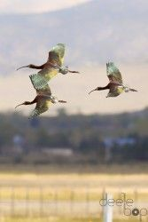 Print of Three White Faced Ibis in Flight