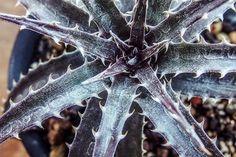 Dyckia'Brittle Star'F3 x goehringii type clone