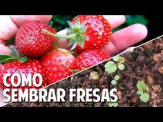 Cómo conseguir semillas de Fresas y la mejor forma de germinarlas - Facil y Efectivo!!! - YouTube
