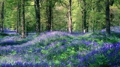 A Woodland With The Floor Carpeted In Bluebells And Sunbeams Through The Trees Lighting Them Up hd wallpaper Forest Of Dean, Forest Path, Spring Forest, Forest Flowers, Forest Wallpaper, Primroses, Tree Lighting, Lily Of The Valley, Paths