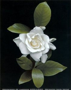 Not sure a tattoo shows the depth of beauty that is the gardenia.