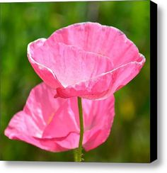 40 best garden pink poppies images on pinterest poppies pink pretty pink poppy flowers stretched canvas print canvas art by ps photography pink poppies mightylinksfo