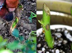 Altoirea (stânga) presupune cunoştinţe avansate şi un volum ridicat de muncă. Asparagus, Vegetables, Plants, Agriculture, Studs, Vegetable Recipes, Veggie Food, Planters, Veggies