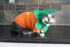 Pumpkin Halloween Cat Costumes ~ Gus needs to match Josh!!!!!!!!!