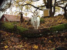 Goats, autumn