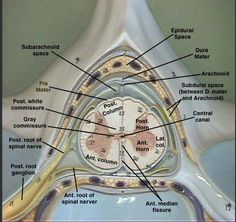 spinal cord and skeleton model nervous system - Google Search