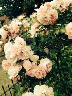 #Pink #Roses #Love