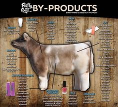 Great facts about what you can get from beef cattle besides meat. Ag Science, Animal Science, Science Fair, Livestock Judging, Showing Livestock, Agra, Agriculture Facts, Show Steers, Show Cows