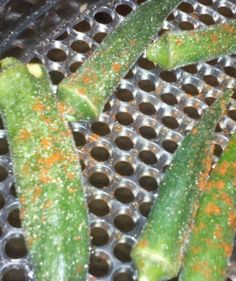 Dehydrating okra, okra chips, how to used dehydrated okra