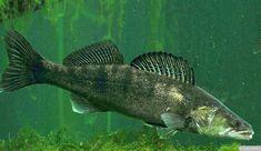 Kuha (Sander lucioperca) Glass Aquarium, Aquarium Fish, Fish Breeding, Koi Carp, Discus, Cichlids, Freshwater Fish, Goldfish, Betta