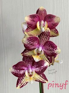 Rare Flowers, Amazing Flowers, Orchid Fertilizer, Orchid Terrarium, All About Plants, Orchid Pot, Houseplants, Tulips, Planting Flowers