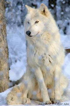 White Wolf-I never tire of looking at these magnificent animals. Wolf Images, Wolf Photos, Wolf Pictures, Free Pictures, Wolf Love, Wolf Spirit, My Spirit Animal, Beautiful Creatures, Animals Beautiful
