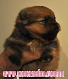 Marvelous Pomeranian Does Your Dog Measure Up and Does It Matter Characteristics. All About Pomeranian Does Your Dog Measure Up and Does It Matter Characteristics. Pomeranian Puppy, Small Pomeranian, Dog Corner, Save A Dog, Companion Dog, Lap Dogs, Dogs Of The World, Pitbull Terrier, Training Your Dog