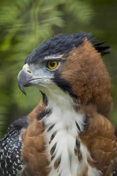 The Ornate Hawk-Eagle is a bird of prey from the tropical Americas. Like all eagles, it is in the family Accipitridae. This species is notable for its vivid colours, which differ markedly between adult and immature birds (photo from San Diego Zoo Global) Kinds Of Birds, All Birds, Birds Of Prey, Love Birds, Pretty Birds, Beautiful Birds, Animals Beautiful, Pretty Baby, Stunningly Beautiful