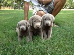Silver lab - Our new puppy!