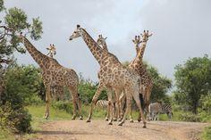 SOCIALTOURIST - Urlaub mit sozialer Verantwortung - Südafrika - South Africa Giraffe, Africa, Animals, Vacation, Giraffes, Animales, Animaux, Animal, Animais