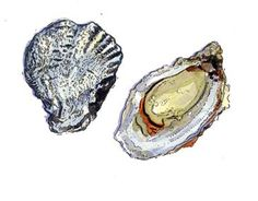 oysters illustrated