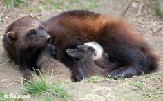 wolverine animal - Google zoeken