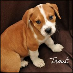 Trout is an adoptable Terrier Dog in Birmingham, AL.  Primary Color: Tan Secondary Color: White Weight: 4.0 Age: 0yrs 0mths 8wks  Animal has been Neutered...