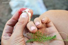 Yarrow as wound remedies - Herbal Academy of New England