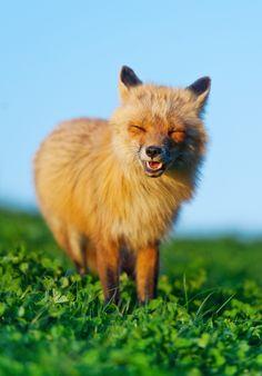 Jun Wang, smiling fox #photography