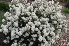 Choisya x dewitteana 'White Dazzler' - smaller than c. ternata