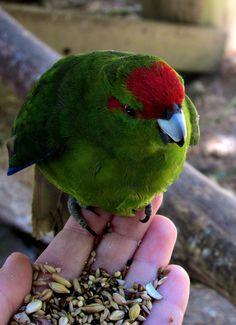 Hand Feeding Kakariki - Lochmara Lodge, New Zealand Parakeets, Parrots, Marlborough Sounds New Zealand, Birds, Babies, Pets, Nature, Animals, Inspiration