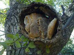 Doğal bal Kurdish Food, Bee Swarm, Save The Bees, Nature Scenes, Bee Keeping, Science And Nature, Bali, Stuffed Mushrooms, Honeycombs