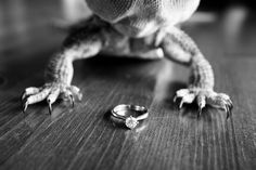 Bearded dragon with wedding ring Summer Staffordshire Wedding at Slaters Country Hotel & Inn Wedding Ring, Diy Wedding, Wedding Stuff, Wedding Ideas, Dragon Wedding, Hotel Inn, Photography Ideas, Wedding Photography, Country Hotel