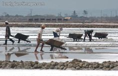 Salt harvest in Anda, Pangasinan