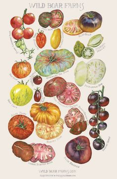 Wild Boar Farms Heirloom Tomatoes Biodiversity Study