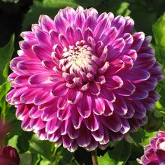 Dahlia Vancouver -  Like a sparkling edge of frost in the heat of summer, the white borders of this dahlia's petals highlight the vibrant fuchsia violet blooms on this 8 to 10 inch dinner plate dahlia.